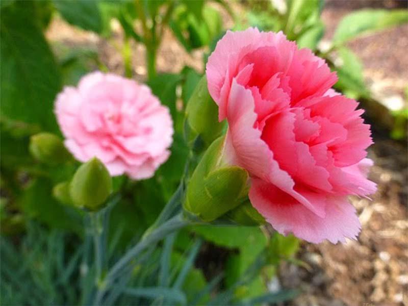 Hoa Phăng - vẻ đẹp dịu dàng của người phụ nữ