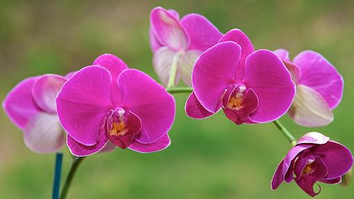 Hoa lan thường tươi trong bao lâu